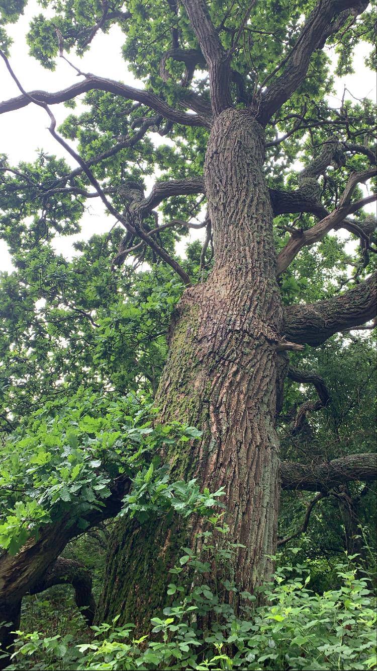 Gigantiskt träd