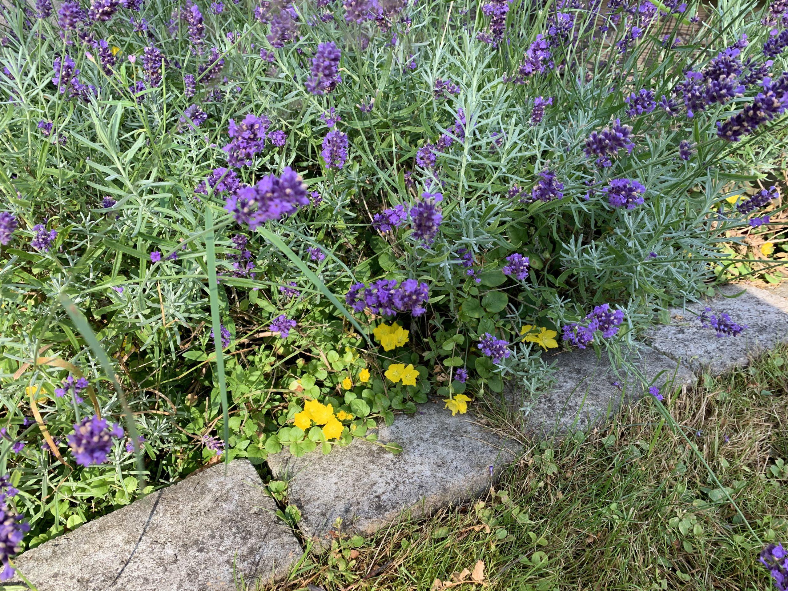Lavendel och penningblad