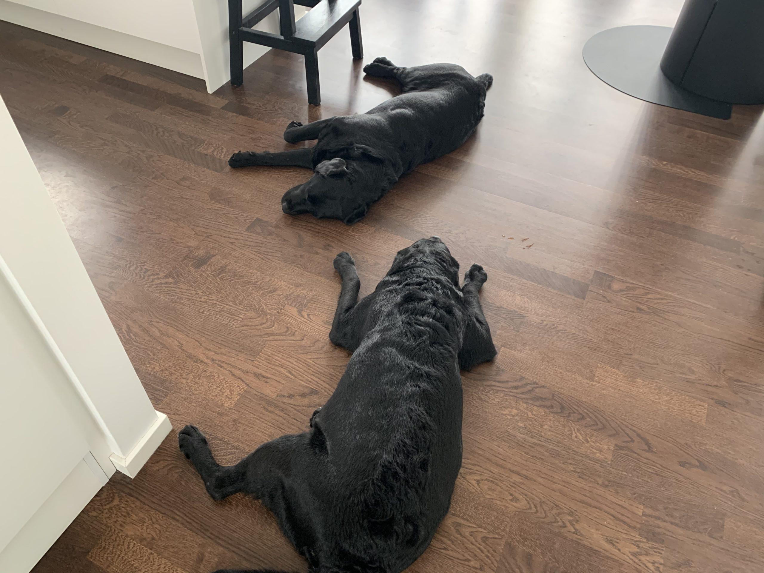 Morgontrötta hundar – Siri och Saga